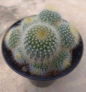 Manfaat Bunga Kaktus
